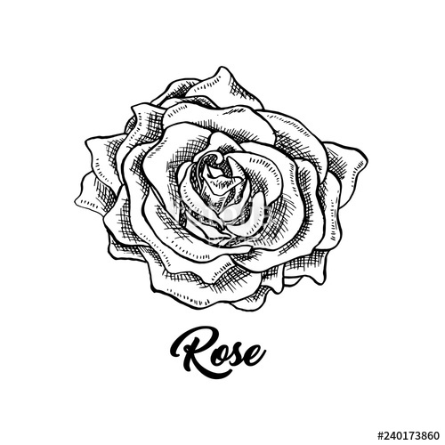 Rose wine flower hand. Flowers clipart black and white for labels