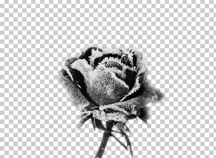 Rose sticker flower frost. Flowers clipart black and white for labels