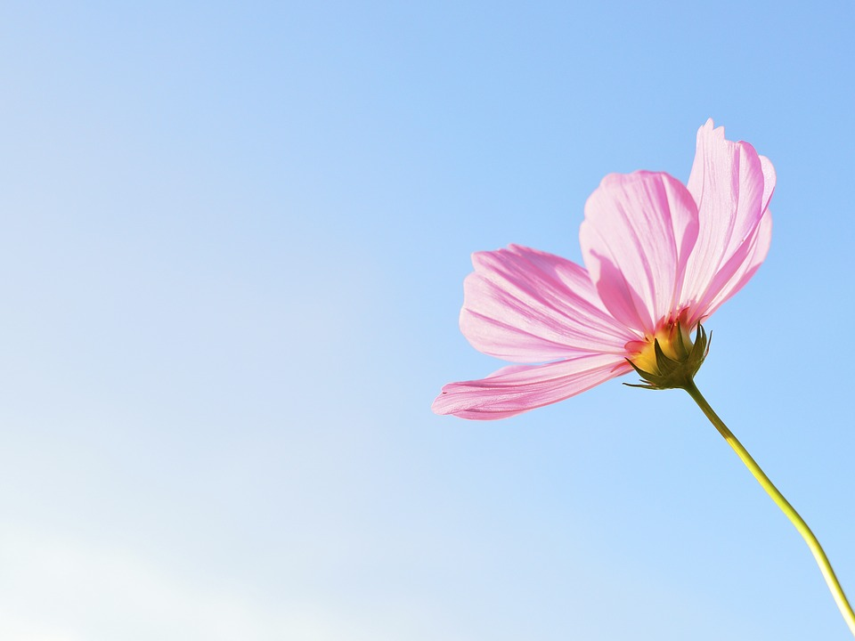 Flowers free image free library Cosmos, Flower - Free images on Pixabay image free library