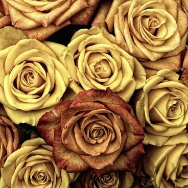 Flowers image download jpg transparent Rose flowers free stock photos download (11,658 Free stock photos ... jpg transparent