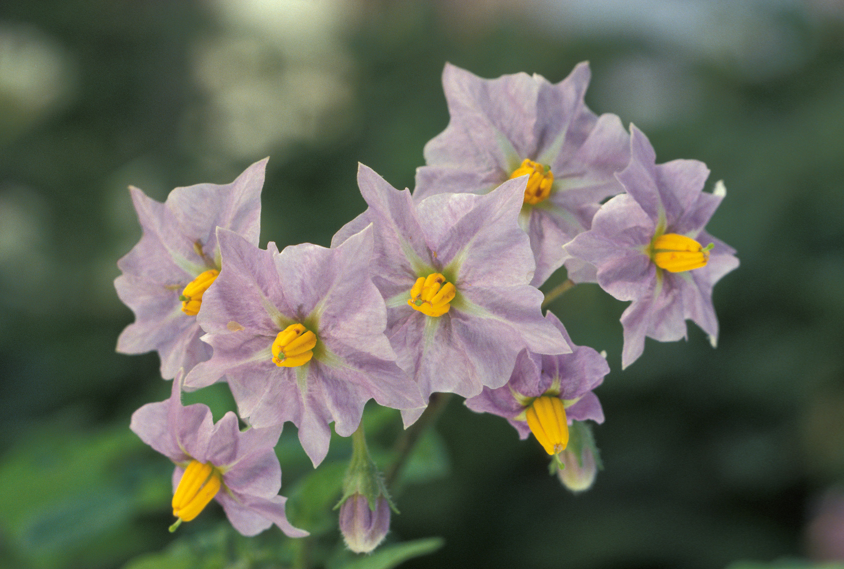 Flowers jpg images image royalty free download File:Potato flowers.jpg - Wikimedia Commons image royalty free download
