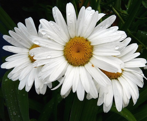 Flowers jpg images picture transparent white daisy flowers.jpg picture transparent