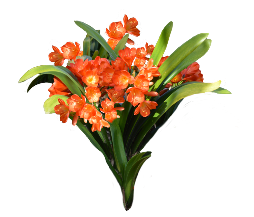 Flowers photos free clipart transparent stock Orange flowers png free to use by Kibblywibbly on DeviantArt clipart transparent stock