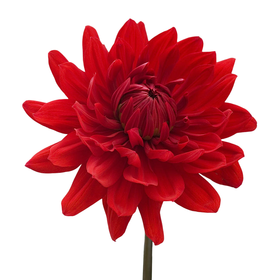 Flowers pics download picture freeuse download Dahlia PNG Transparent Images | PNG All picture freeuse download
