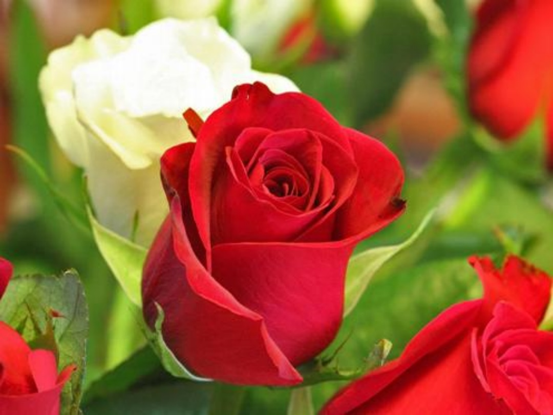 Flowers pics download banner stock Beautiful flower wallpaper Rose Photos Images free for Desktop ... banner stock