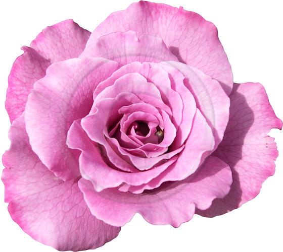Flowery graphics jpg download Flower graphic - ClipartFox jpg download