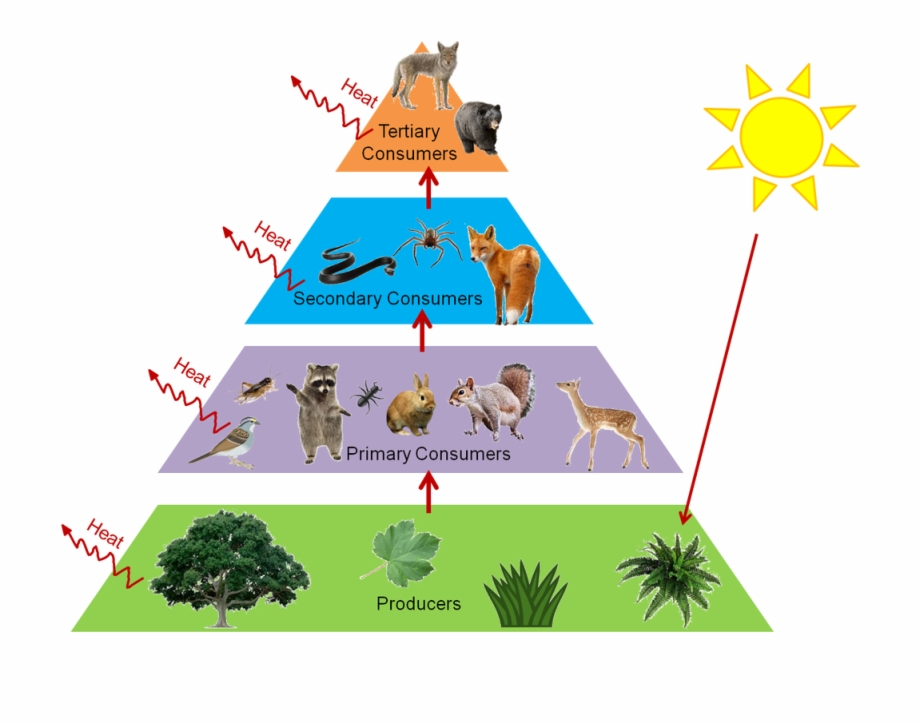 Food chain cliparts clipart freeuse Banner Library Food Web Clipart - Forest Food Chain Pyramid Free PNG ... clipart freeuse
