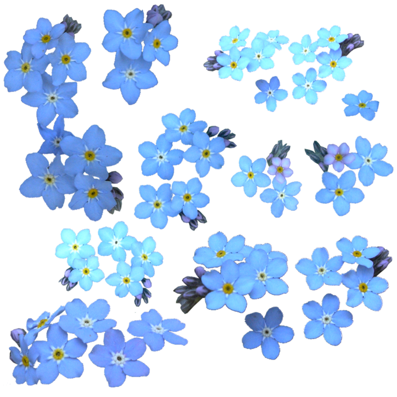 Forget me not images clipart. Download free png dlpng