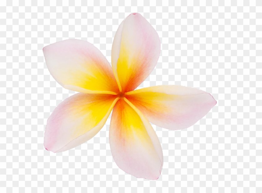 Frangipani clipart jpg royalty free download Frangipani clipart » Clipart Portal jpg royalty free download