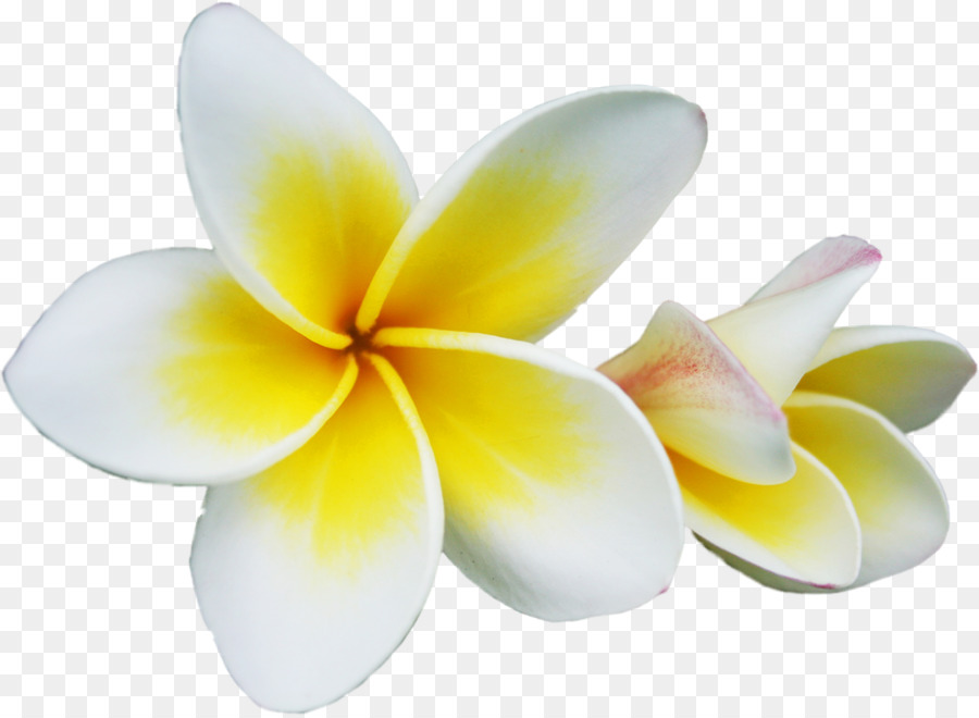 Frangipani clipart graphic black and white stock Frangipani Flower clipart - Flower, Yellow, transparent clip art graphic black and white stock