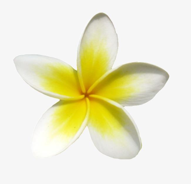 A small yellow plumeria. Frangipani clipart