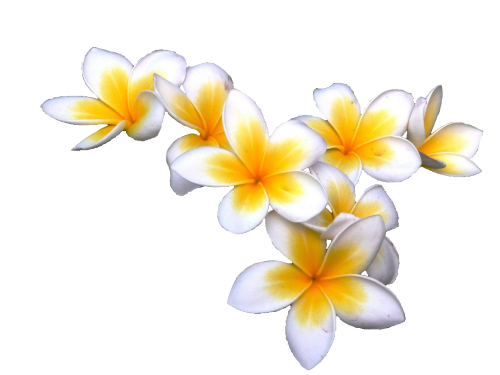 Frangipani clipart banner freeuse download transparent-flowers: plumeria | Other art in 2019 | Transparent ... banner freeuse download