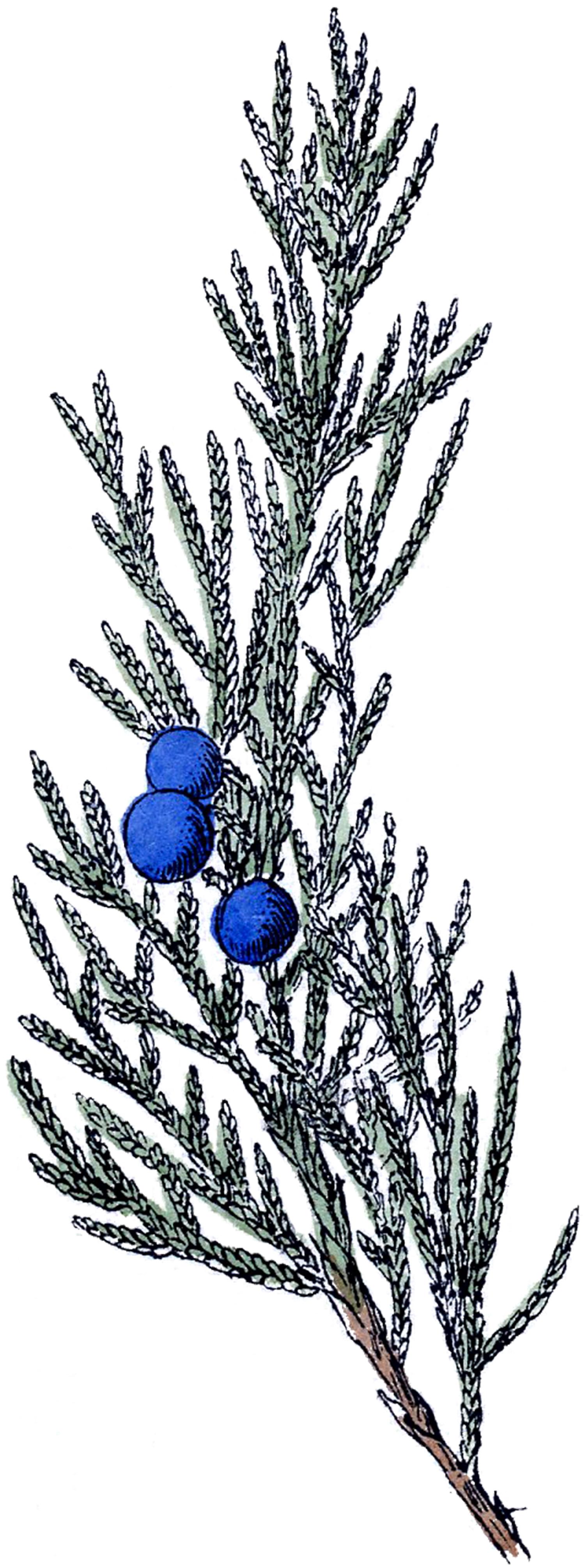 Free botanical clipart. Vintage clip art juniper