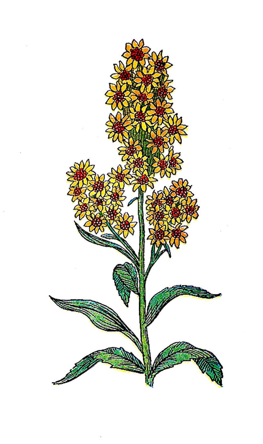 Free botanical clipart clip art royalty free stock Antique Images: Free Botanical Clip Art: Vintage Herb Illustration ... clip art royalty free stock