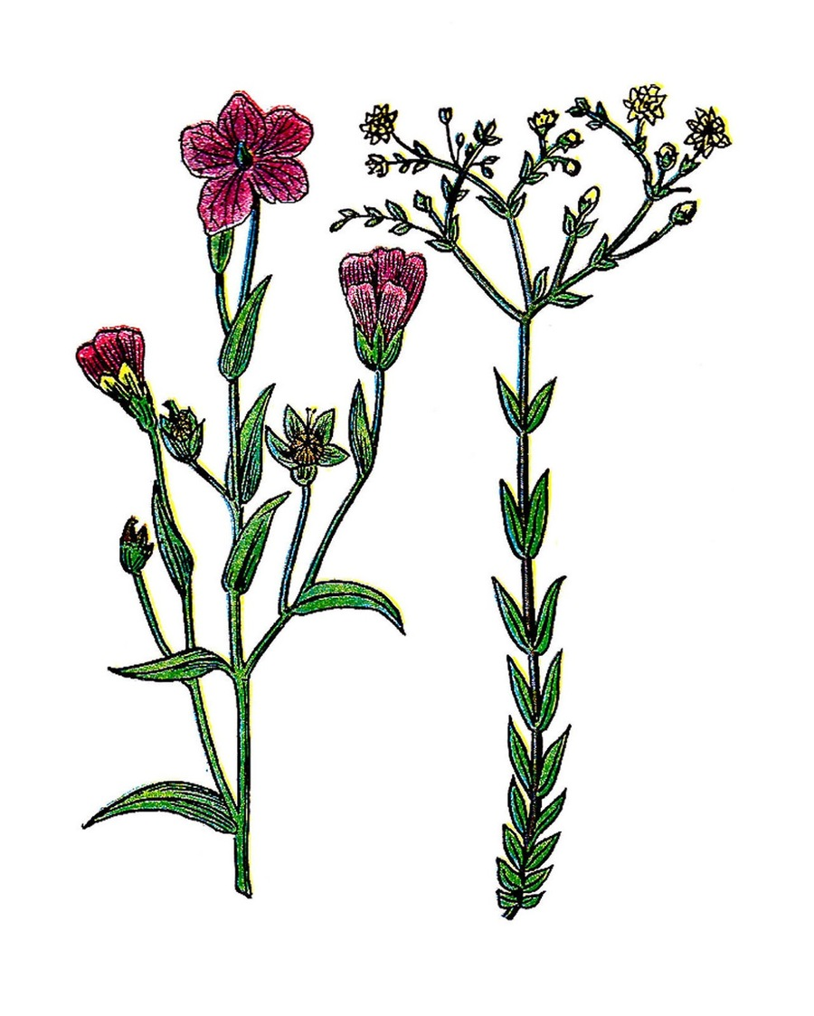 Free botanical clipart clip freeuse stock Download vintage botanical free clipart Botany Flower Clip art ... clip freeuse stock