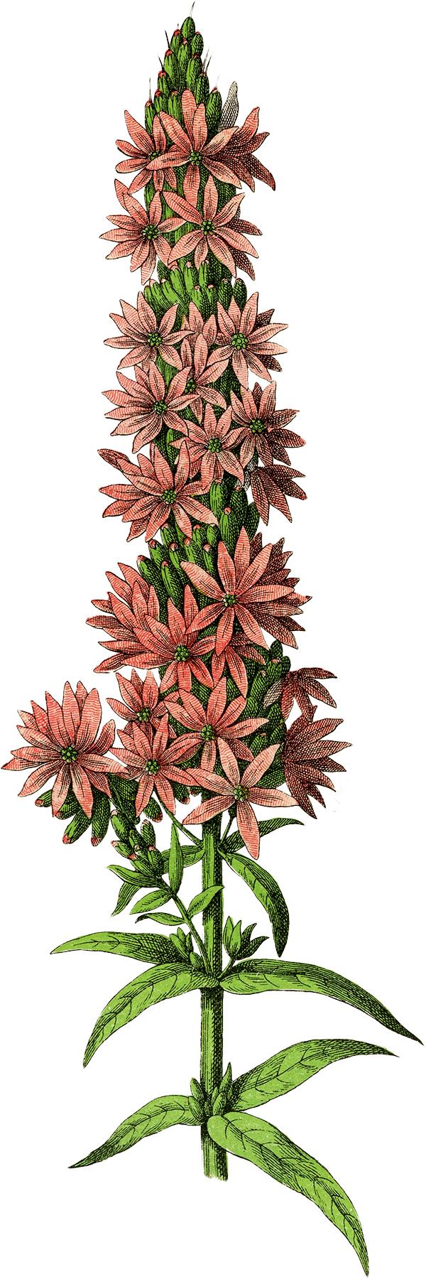 Free botanical clipart.  pink clip art