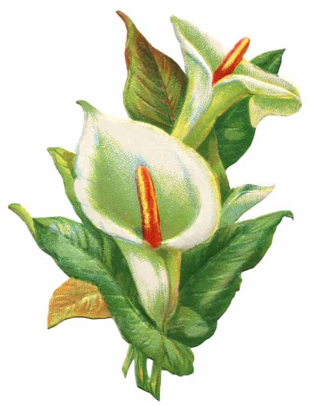 Free calla lily clipart clip freeuse library Free Calla Lily Pics, Download Free Clip Art, Free Clip Art on ... clip freeuse library