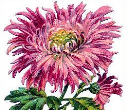 . Free clipart chrysanthemum
