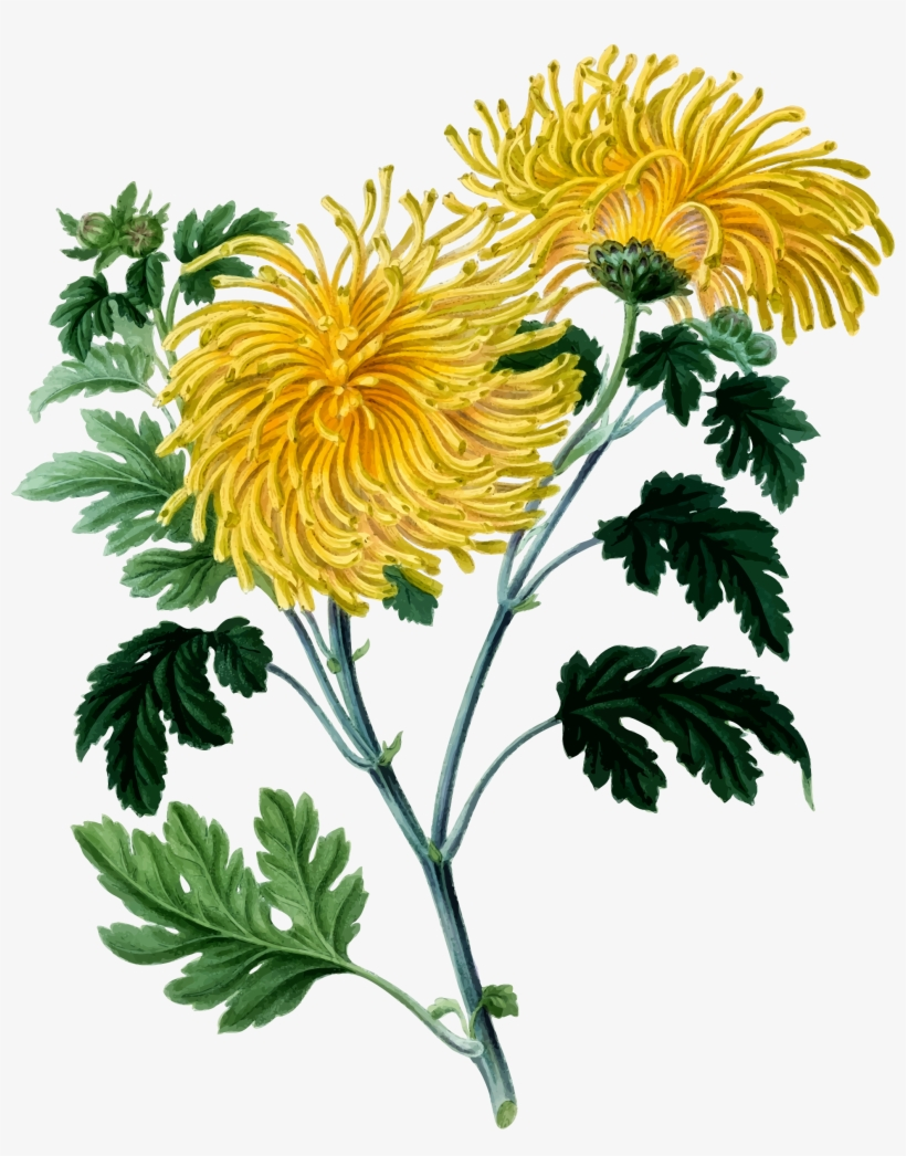 Free clipart chrysanthemum. Clip art library download