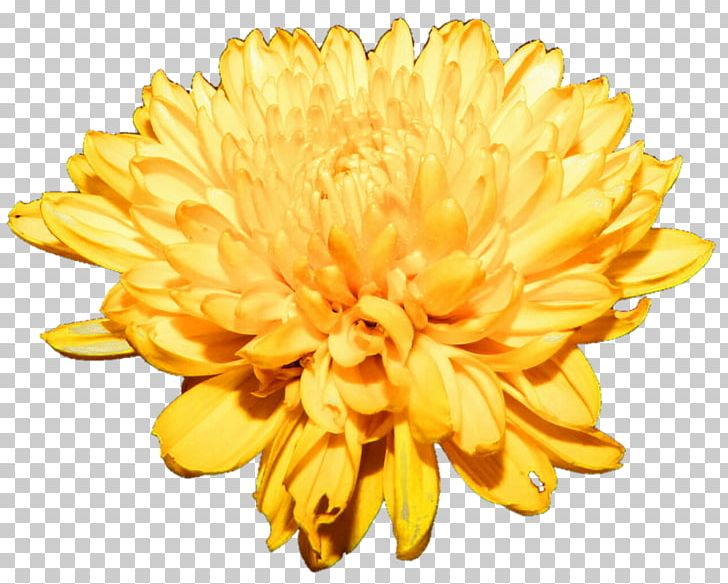 Free clipart chrysanthemum clipart freeuse download Chrysanthemum Flower PNG, Clipart, Chrysanthemum, Chrysanths, Cut ... clipart freeuse download
