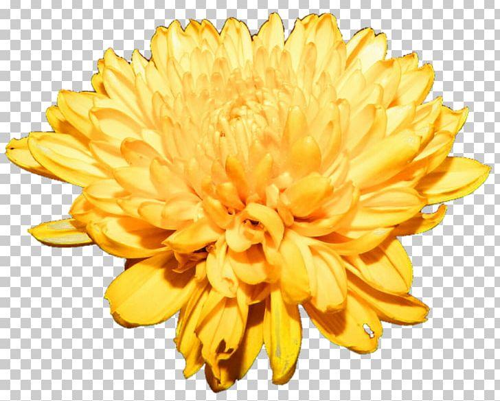 Free clipart chrysanthemum. Flower png chrysanths cut