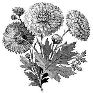 Early flowering vintage clip. Free clipart chrysanthemum