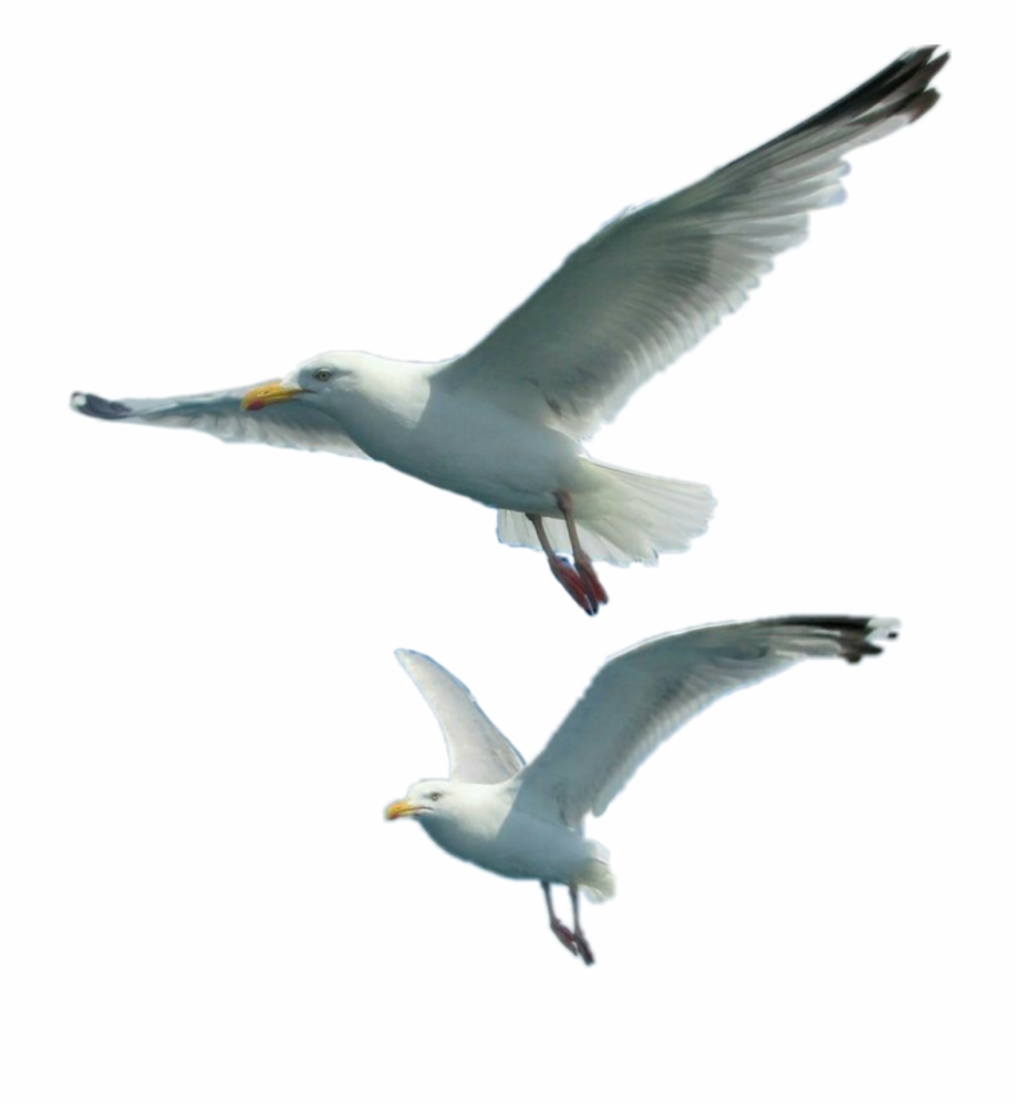 Free clipart downloads seagulls png royalty free download Seagulls Sticker - European Herring Gull Free PNG Images & Clipart ... png royalty free download