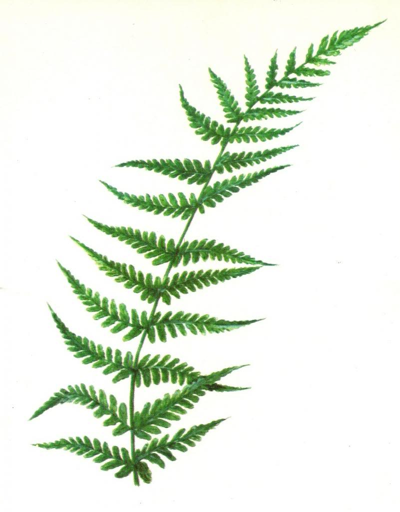 Free clipart fern leaf vector freeuse download Free Fern Cliparts, Download Free Clip Art, Free Clip Art on Clipart ... vector freeuse download