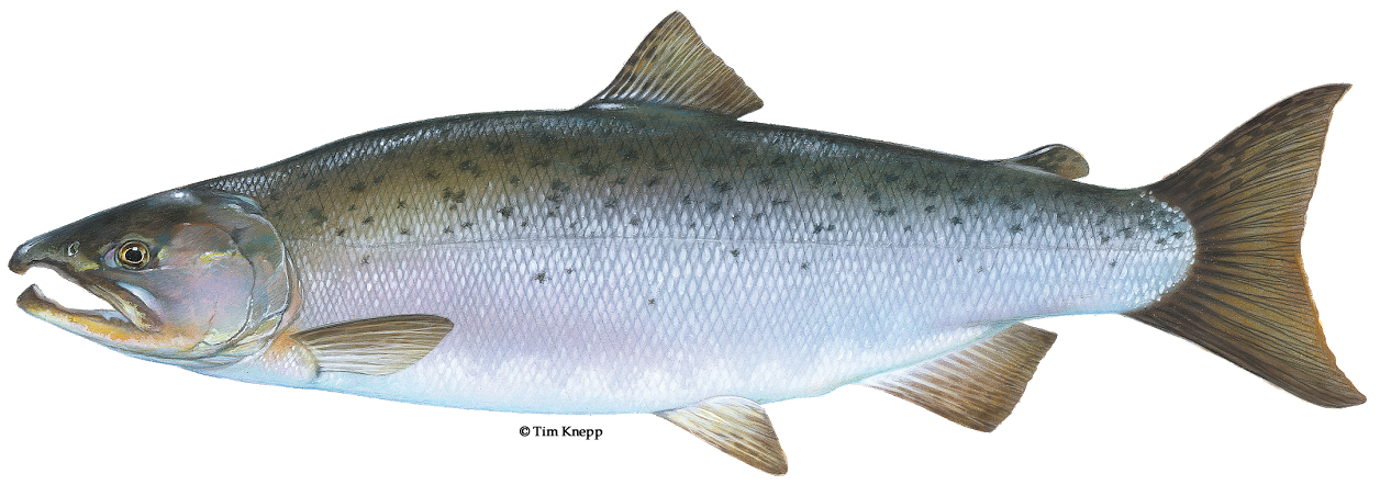 Free clipart images of california chinook salmon image download Coho salmon image download