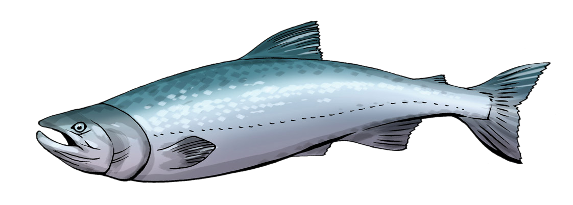 Salmon images clipart