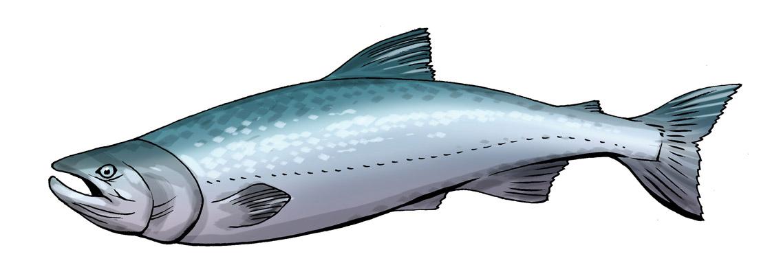 Salmon images clipart picture transparent Cute salmon cliparts free download clip art on - ClipartPost picture transparent