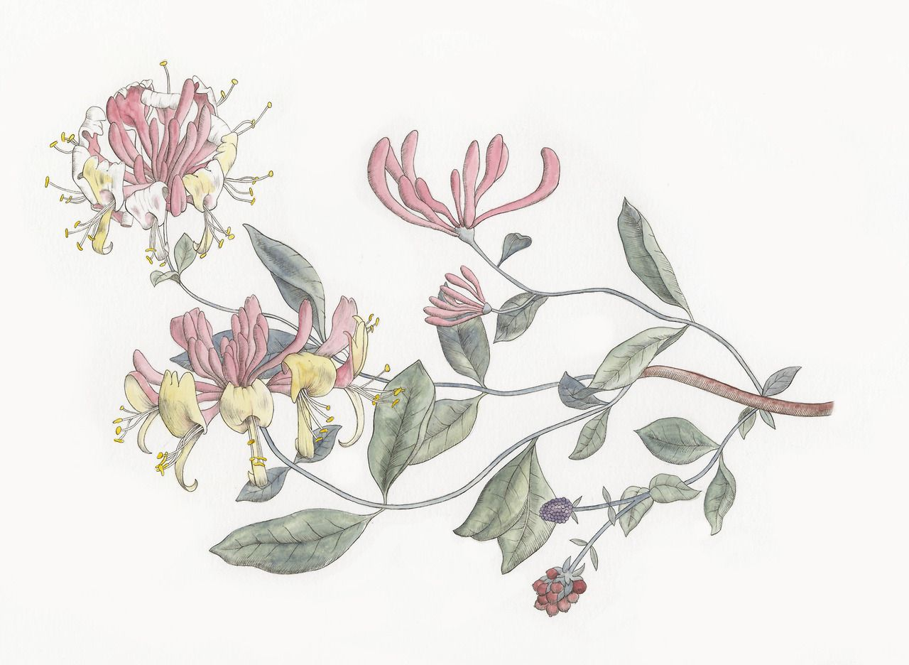 Free clipart images of wild honeysuckle bush picture black and white stock honeysuckle vine tattoo - Google Search | Tattoo Inspirations ... picture black and white stock