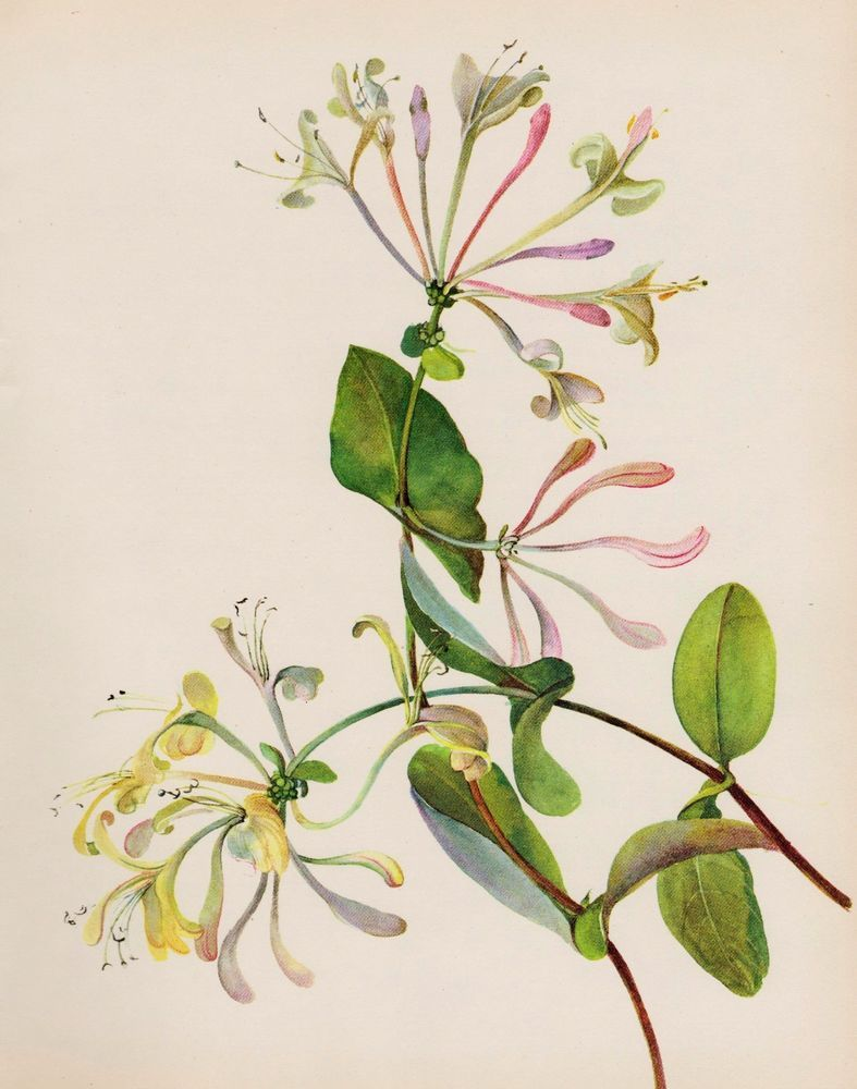Free clipart images of wild honeysuckle bush banner freeuse download Vintage Botanical HONEYSUCKLE Print White Flower Gallery Wall Art ... banner freeuse download