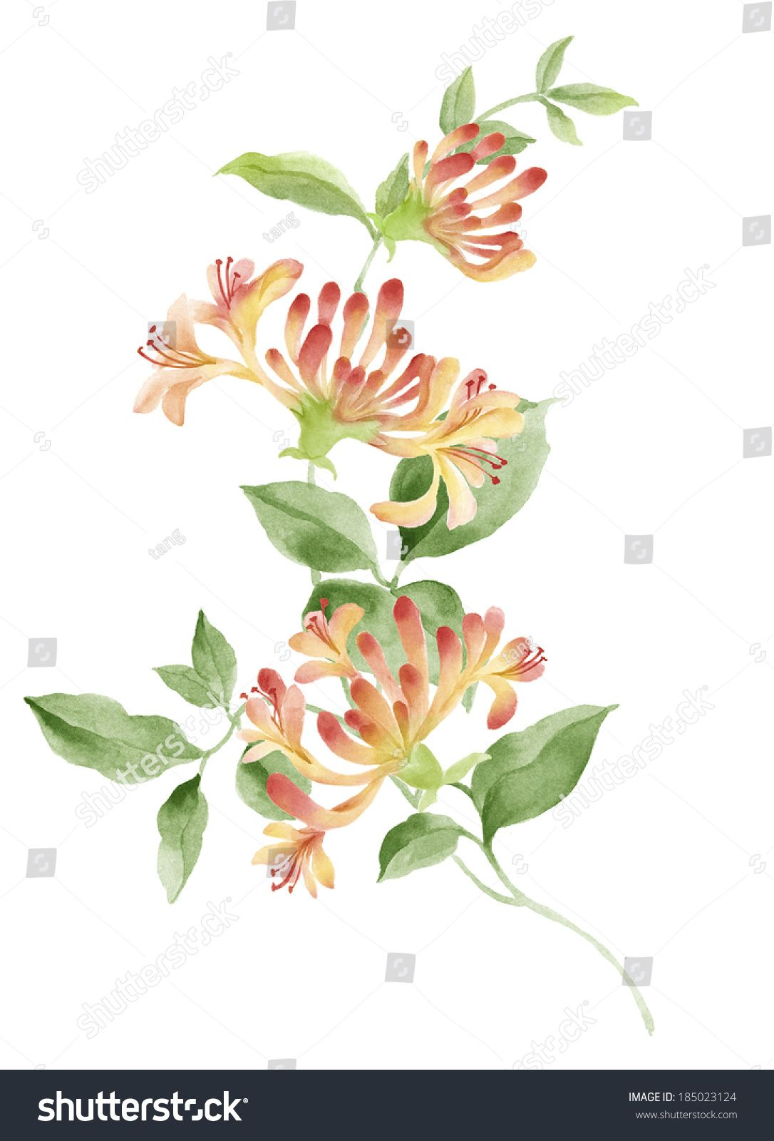 Free clipart images of wild honeysuckle bush png freeuse stock watercolor illustration Honeysuckle in simple background | Tattoos ... png freeuse stock
