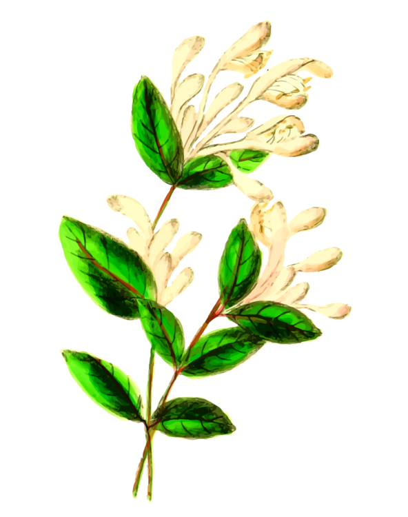 Free clipart images of wild honeysuckle bush vector freeuse download Plant,Flower,Leaf Vector Clipart - Free to modify, share, and use ... vector freeuse download