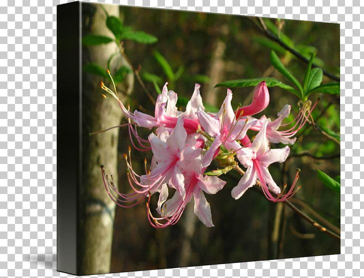Free clipart images of wild honeysuckle bush picture library stock Honeysuckle Azalea Spider Flower PNG, Clipart, Azalea, Flora, Flower ... picture library stock