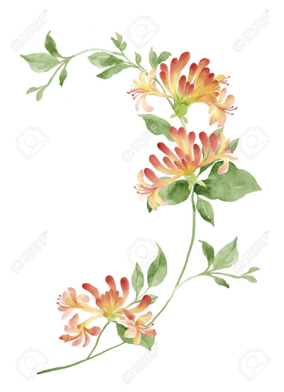 Free clipart images of wild honeysuckle bush vector library stock Honeysuckle watercolor tattoo idea for June birth month | pattern ... vector library stock
