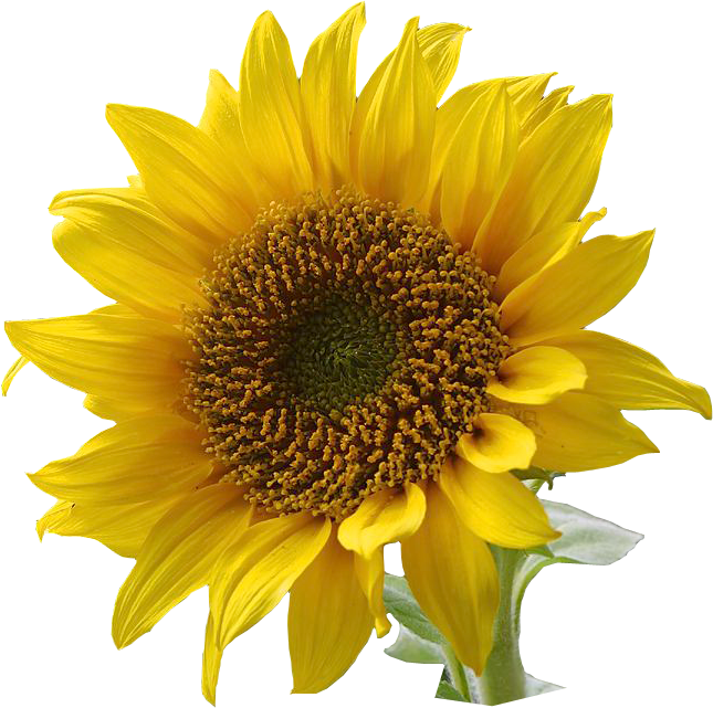 Free clipart images sunflowers clip art transparent stock Free Sunflowers Cliparts, Download Free Clip Art, Free Clip Art on ... clip art transparent stock