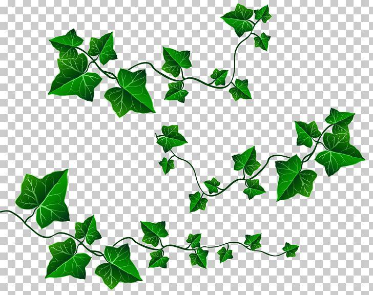 Free clipart ivy. Vine leaf png branch