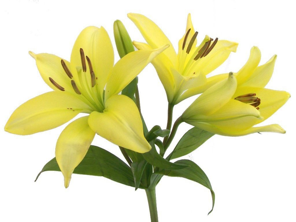 Lilies flowers clipart jpg free stock Free Lily Cliparts, Download Free Clip Art, Free Clip Art on Clipart ... jpg free stock