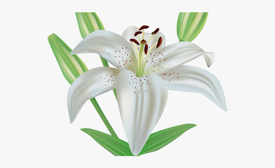Free clipart lily flowers graphic royalty free Lily Clipart Funeral Flower - Clip Art Easter Lilies #1311017 - Free ... graphic royalty free