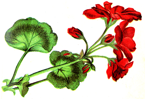 Line of flowers library. Free clipart may with geranium border