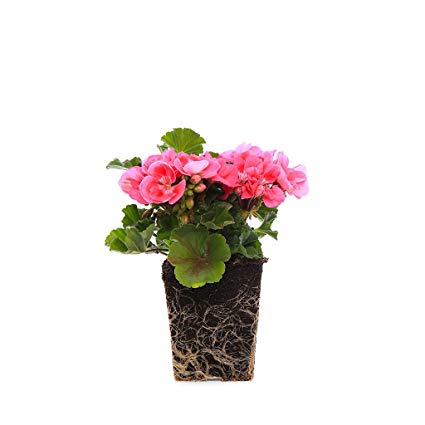 Free clipart may with geranium border. Amazon com plants by
