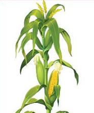 clipartlook. Free clipart of corn stalks