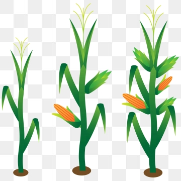 Stalk png vector psd. Free clipart of corn stalks