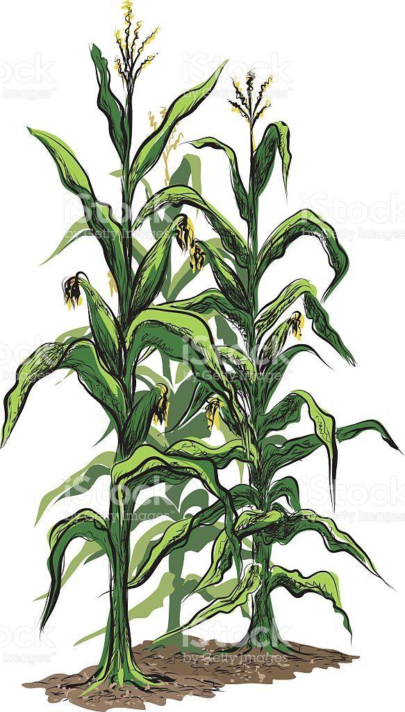 Free clipart of corn stalks. Stalk all things fall
