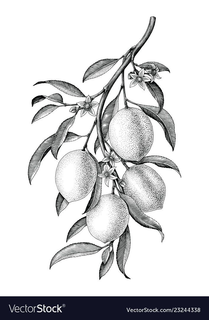Free clipart of country side black and white vintage transparent Lemon branch black and white vintage clip art transparent