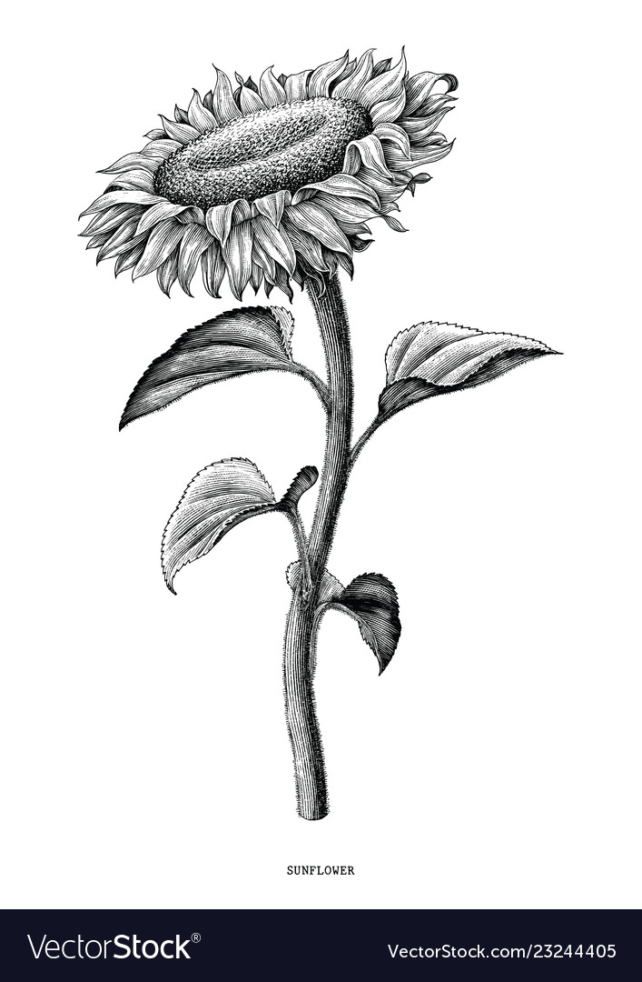 Free clipart of country side black and white vintage svg library stock Sunflower hand drawing black and white vintage svg library stock