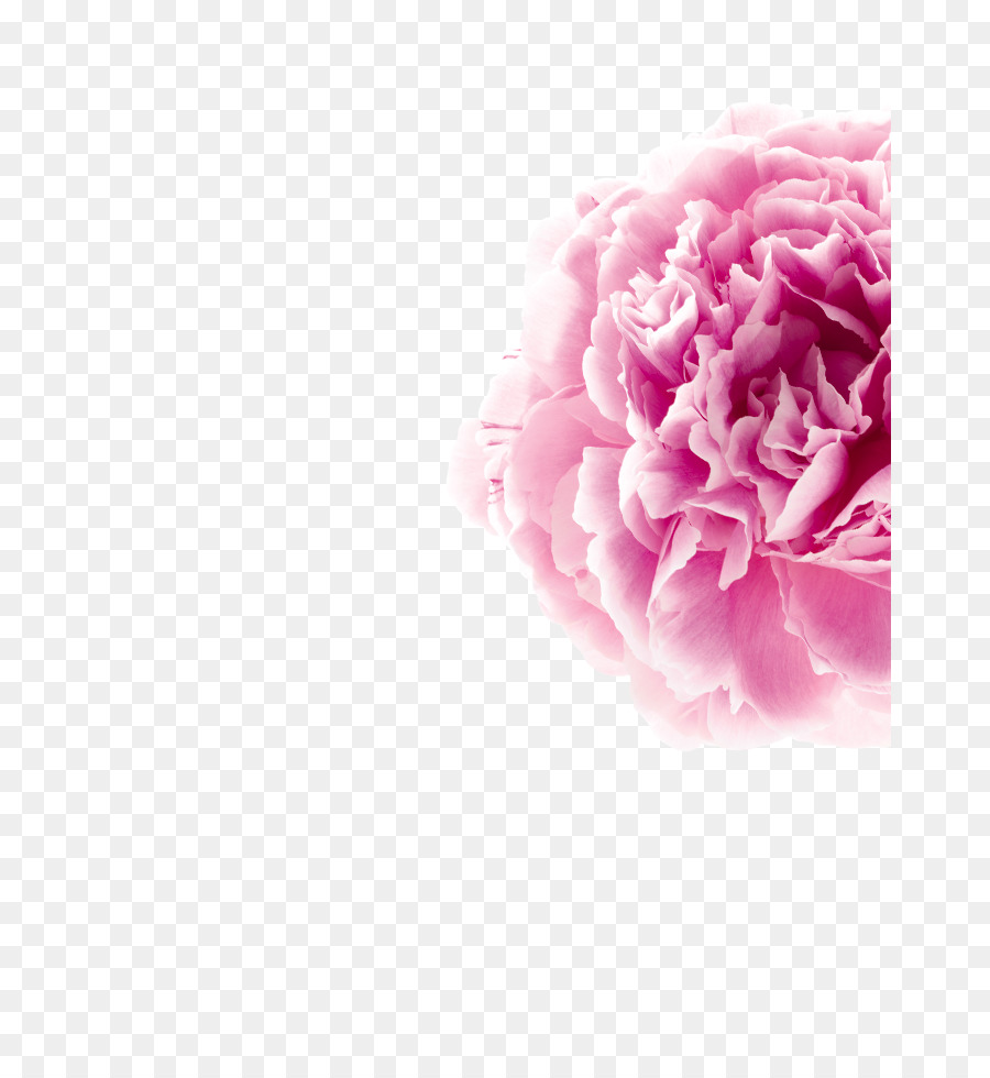 Free clipart pink rose hair peice w no background image transparent library Flowers Clipart Background png download - 720*966 - Free Transparent ... image transparent library
