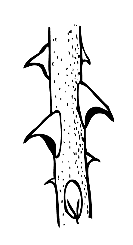 Free clipart rose with thornes coloring page vector black and white stock See thorn clipart 20 free Cliparts | Download images on Clipground 2019 vector black and white stock